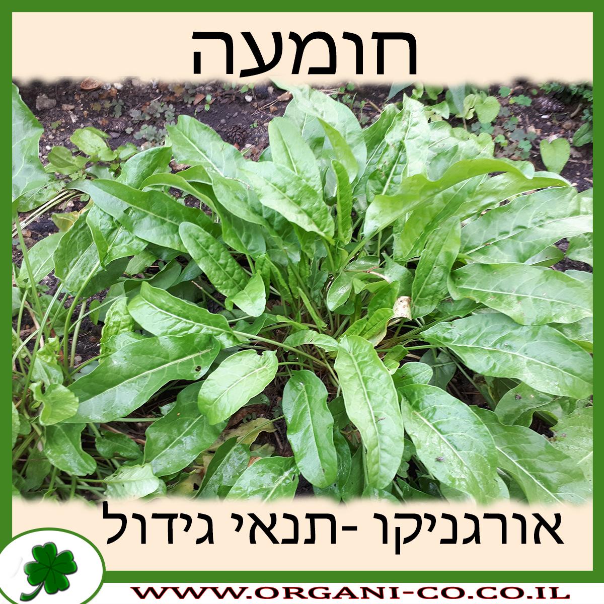 חומעה גידול צמח
