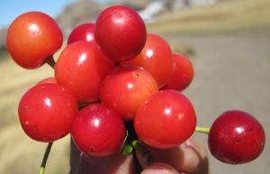 דובדן חמוץ גידול פרי