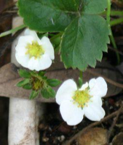 תות שדה גידול פרחים