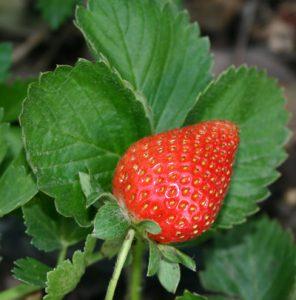 תות שדה גידול