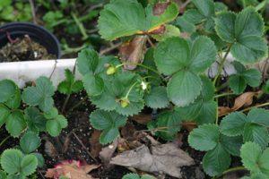 תות שדה צמחים