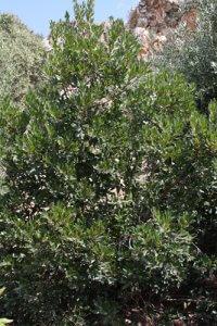 עץ קטלב גידול