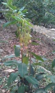 עץ הקטלב גידול