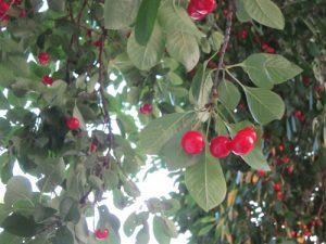 גודגדן עץ פרי גידול