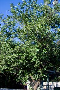 לימון מתוק גידול עץ
