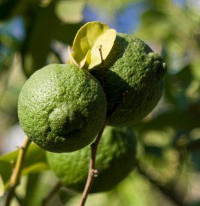 לימון מתוק גידול