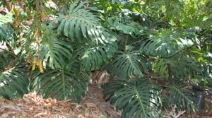 מונסטרה גידול צמח