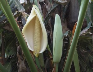מונסטרה צמח פרח
