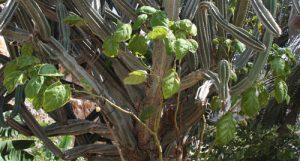 טמרילו גידול צמח