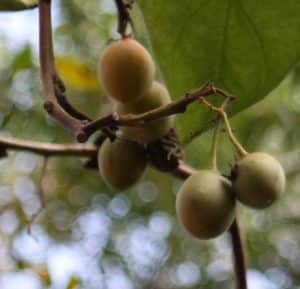 טמרילו גידול פרי צמח