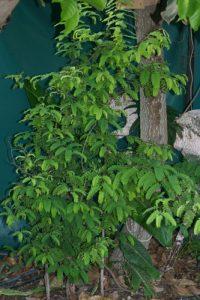 תמרהינדי גידול עץ