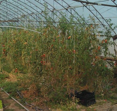 עגבנייה גידול