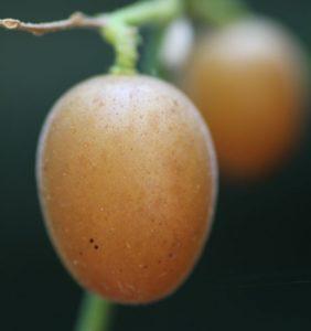 וואפי עץ פרי גידול