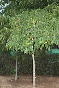 עץ תות בוכיה גידול פרי