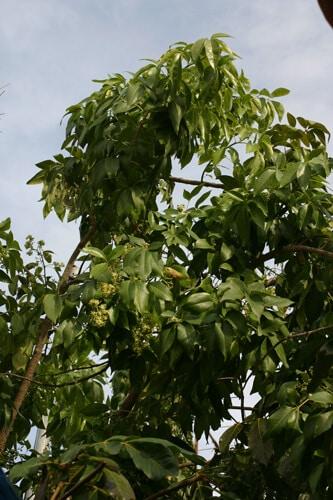 גידול ספוטה לבנה פרי עץ
