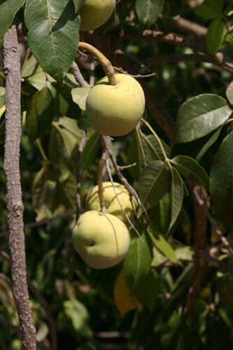 ספוטה לבנה גידול פרי