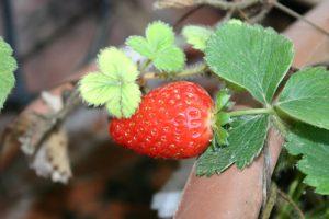 תות יער גידול פרי