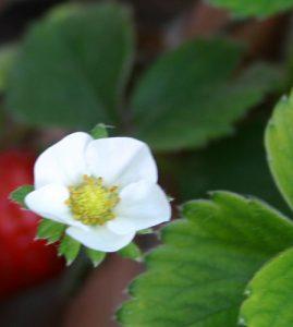 תות יער גידול פרח