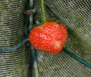 תות יער גידול