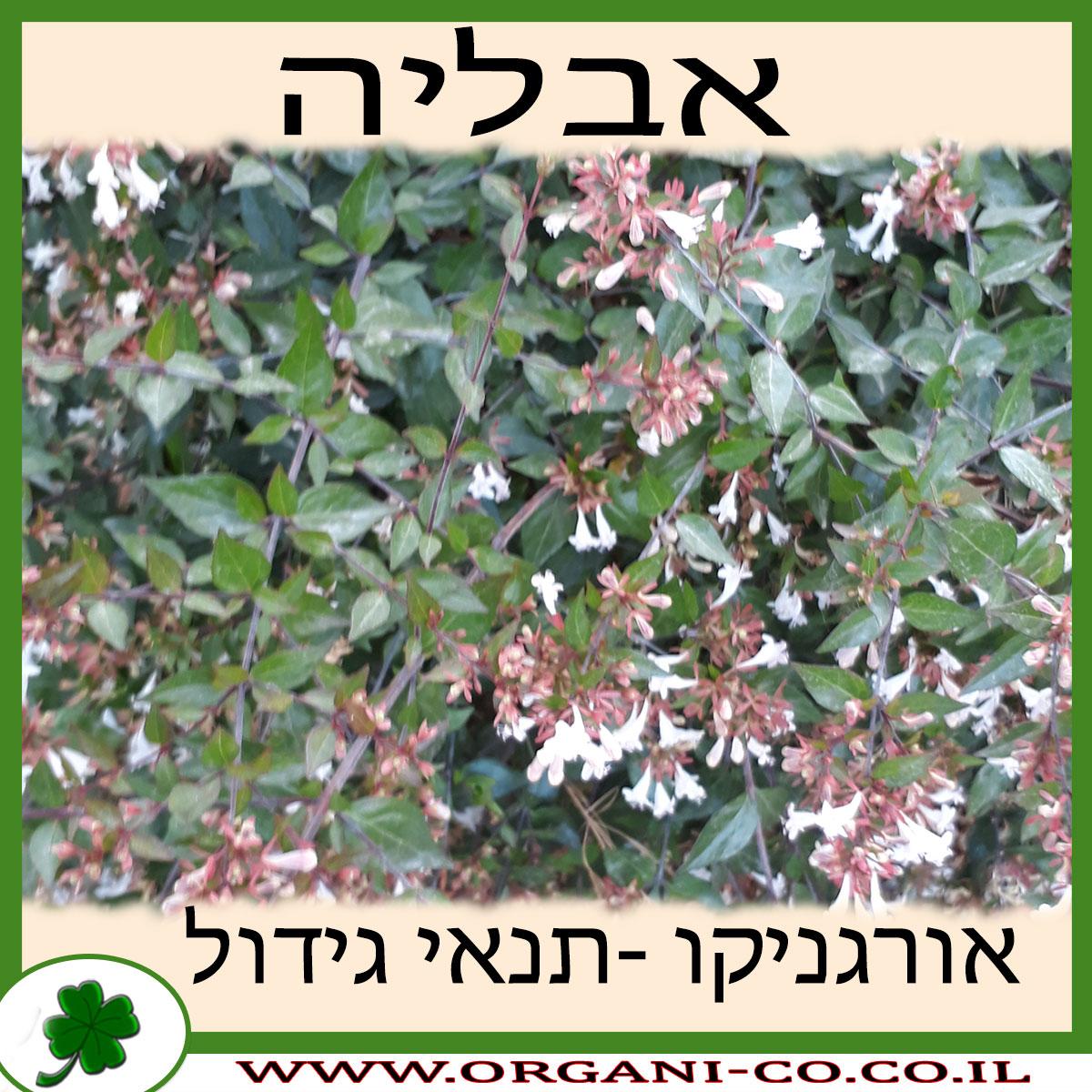 אבליה גדולת פרחים גידול צמח