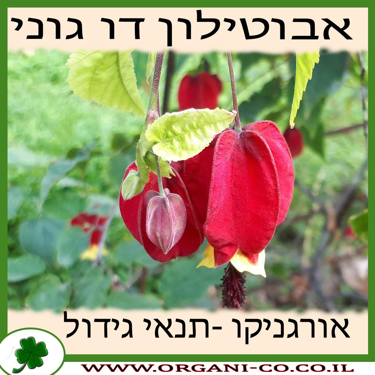 אבוטילון דו גוני - גידול צמח