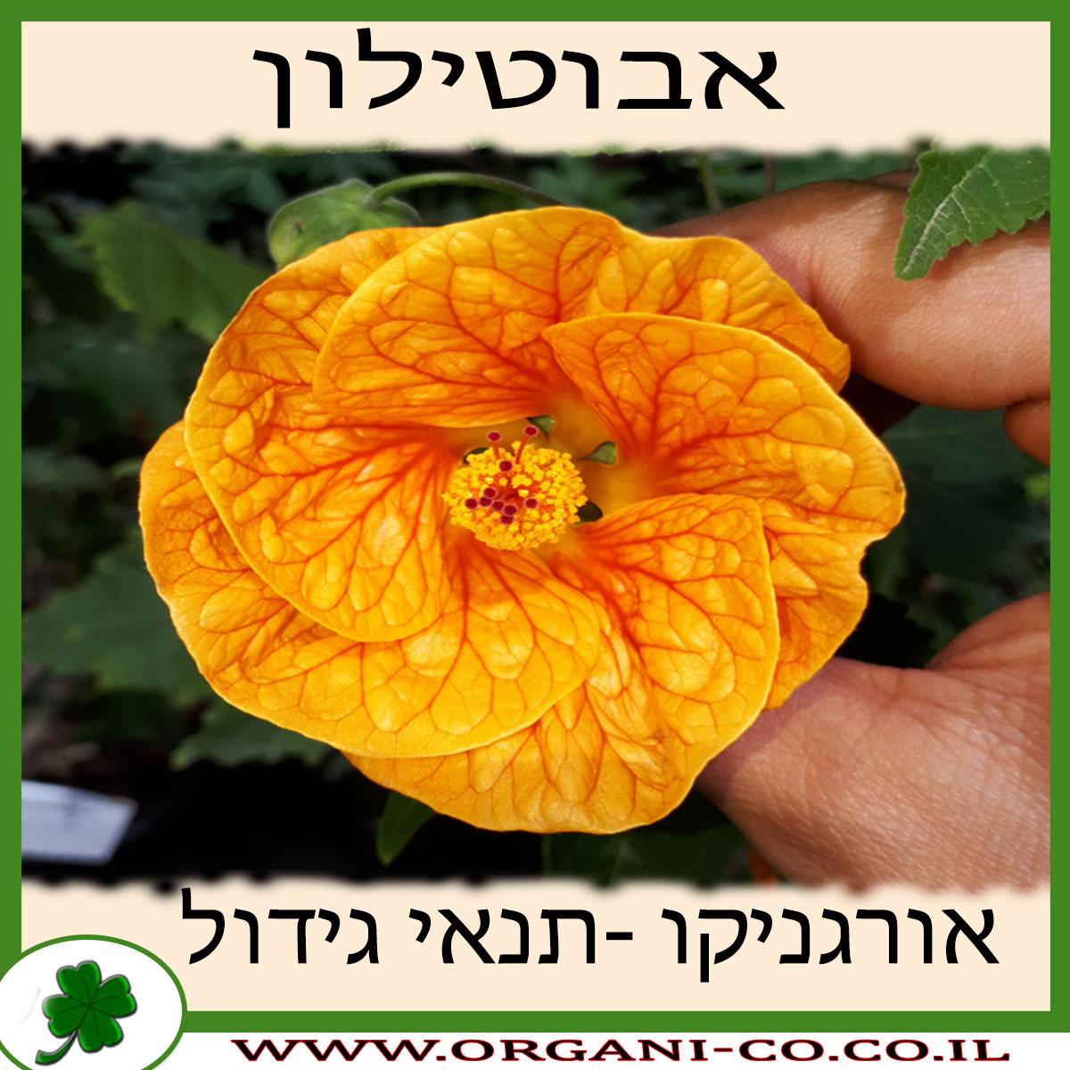אבוטילון - גידול צמח