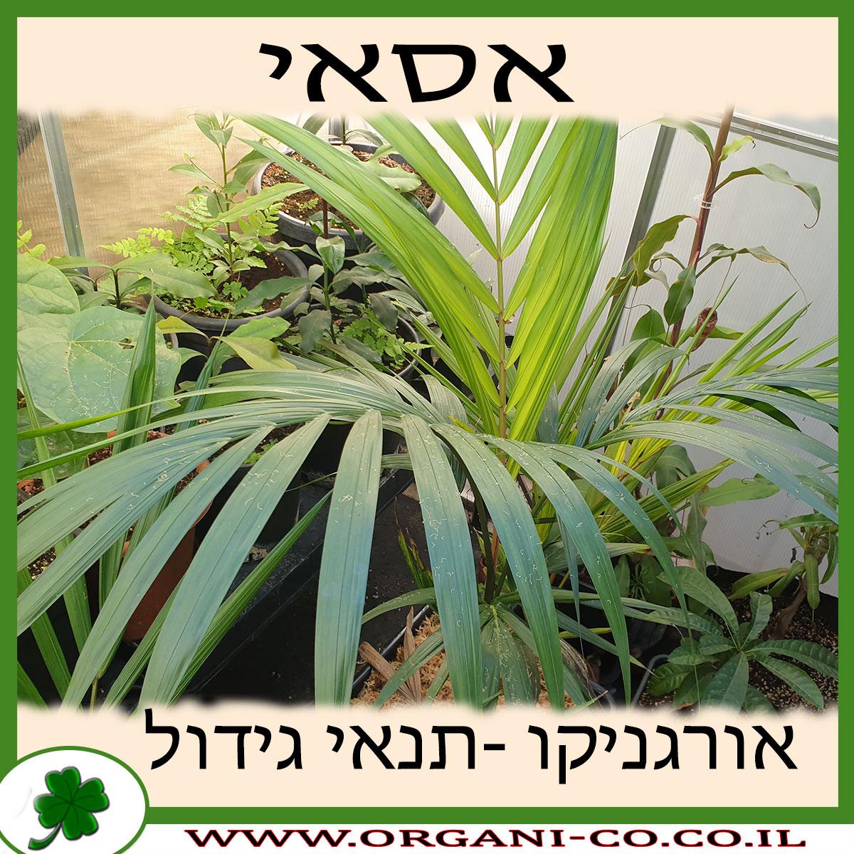 אסאי גידול צמח