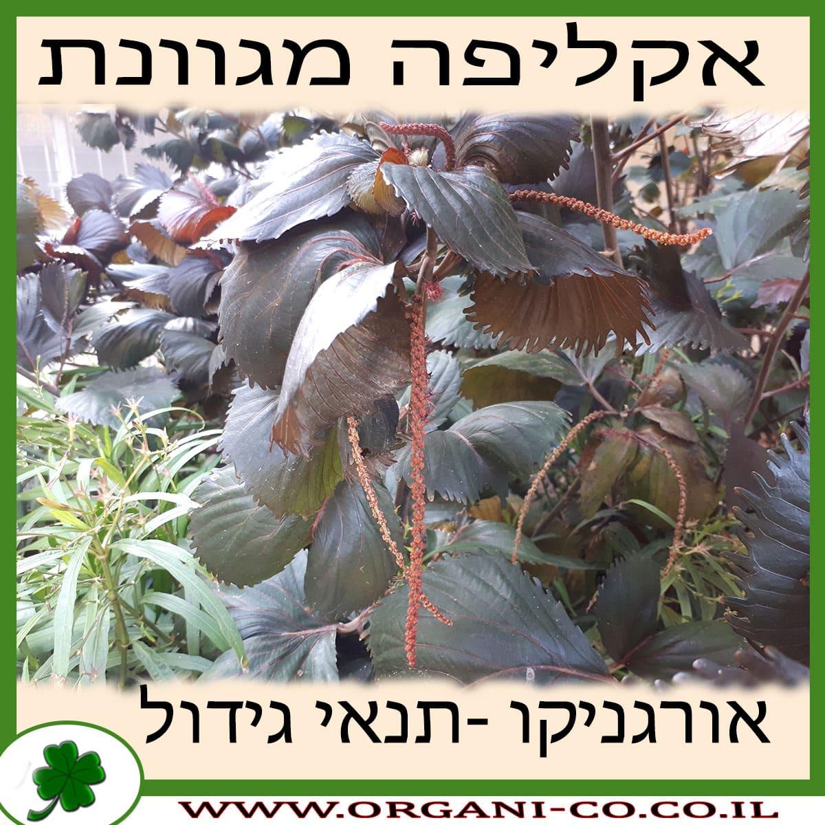 אקליפה מגוונת גידול צמח