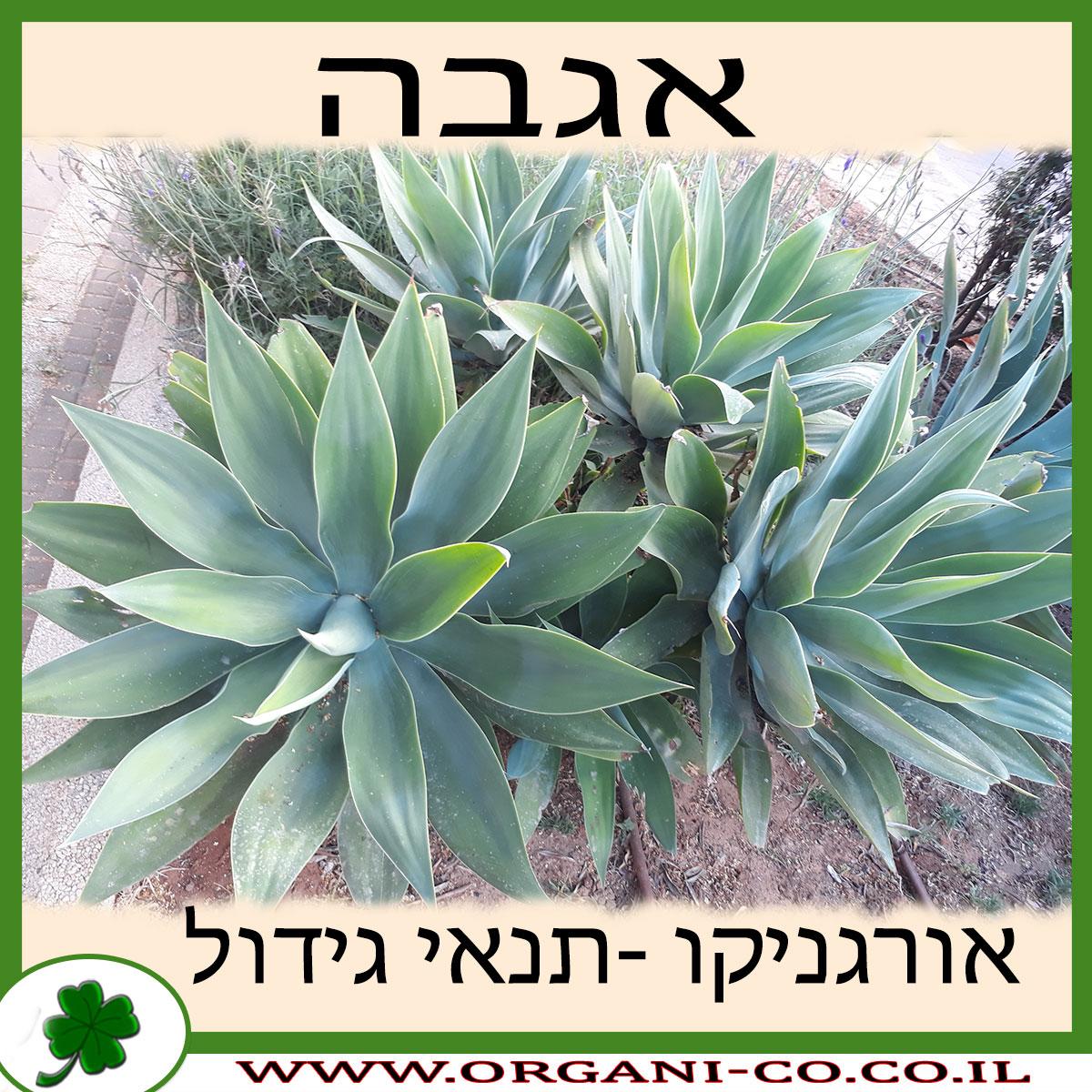אגבה גידול צמח