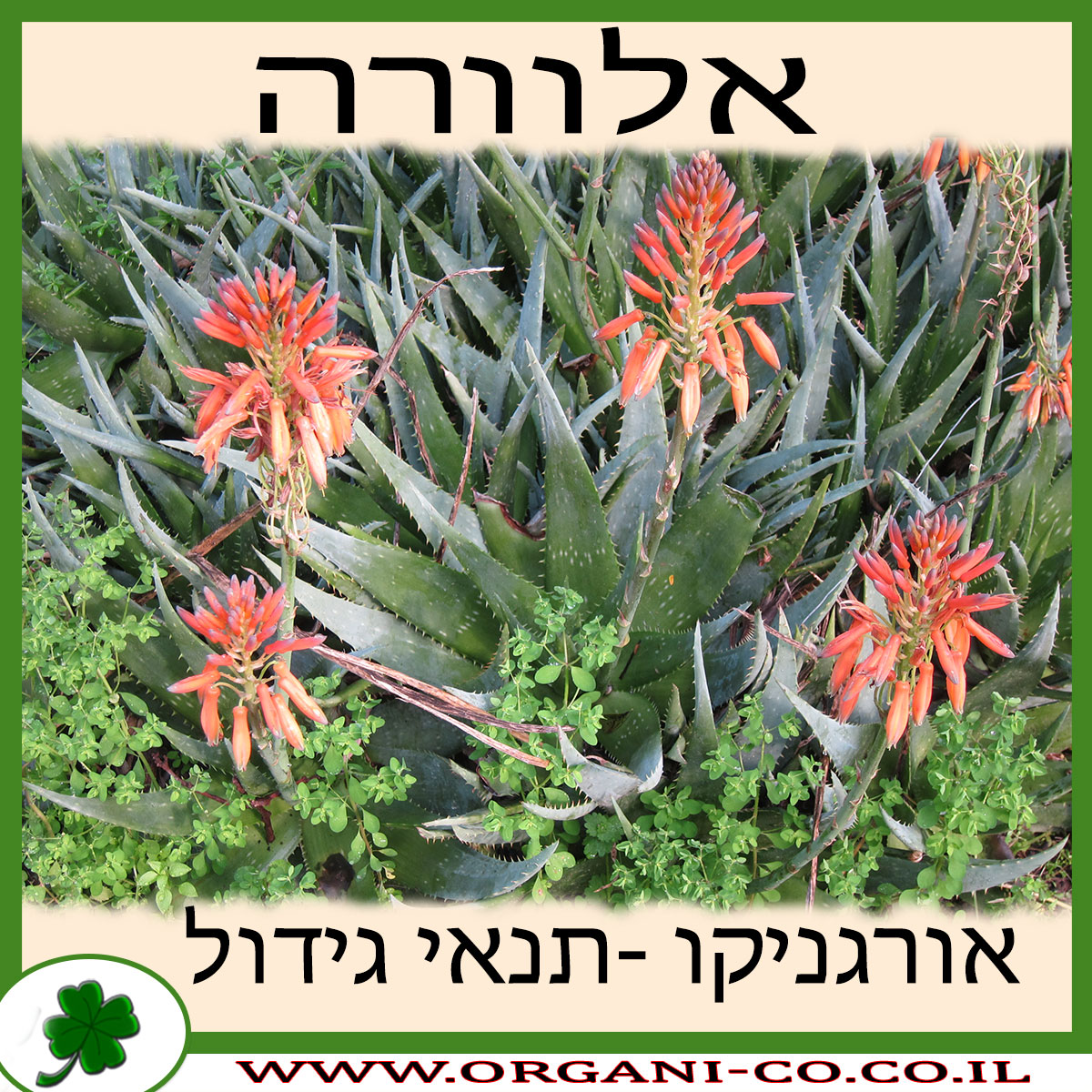 אלוורה גידול צמח