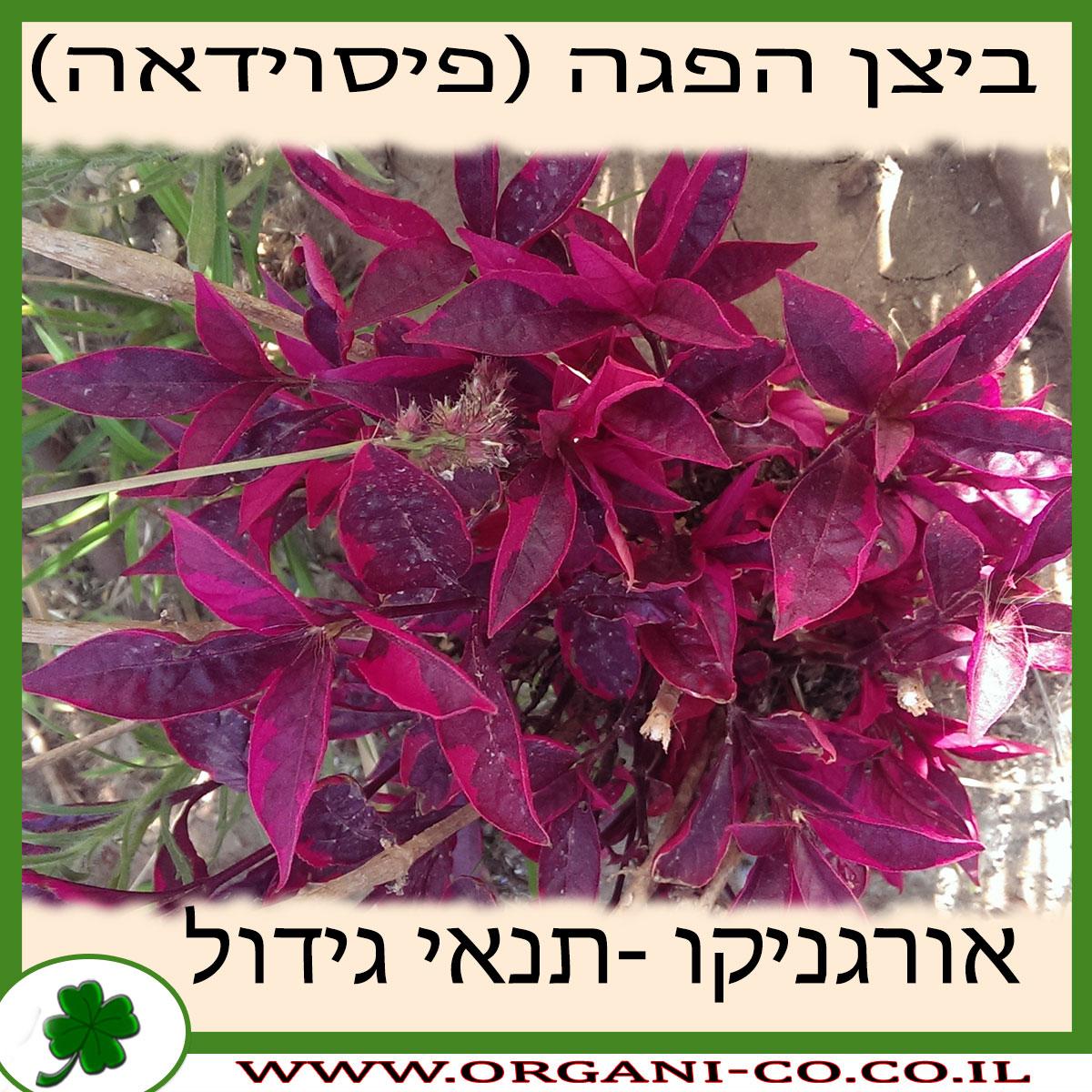 ביצן הפגה (פיסוידאה) גידול צמח
