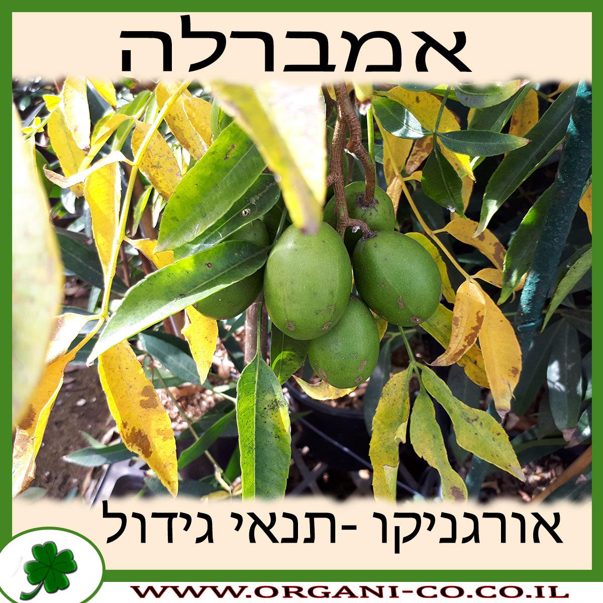 אמברלה גידול צמח
