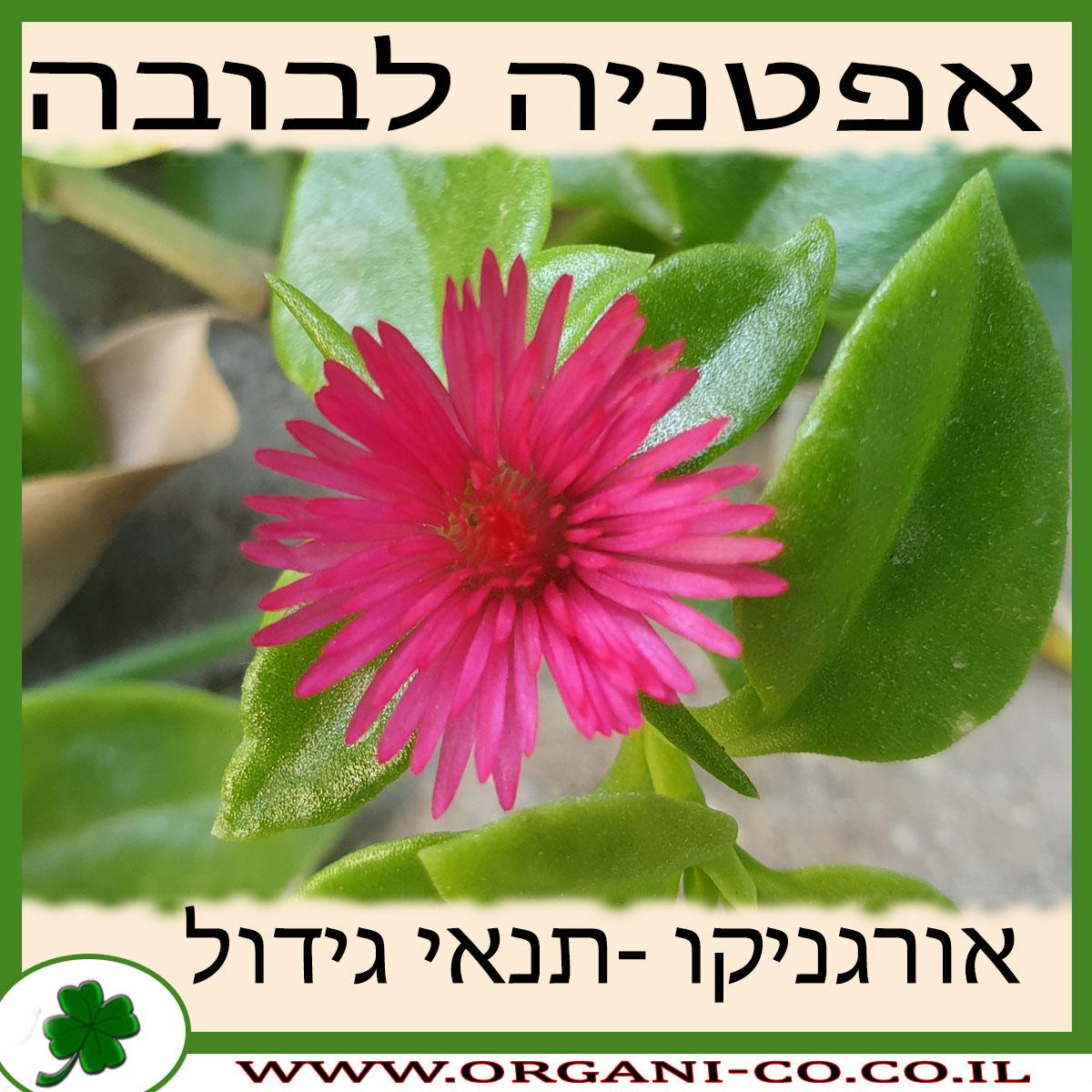 אפטניה לבובה גידול צמח