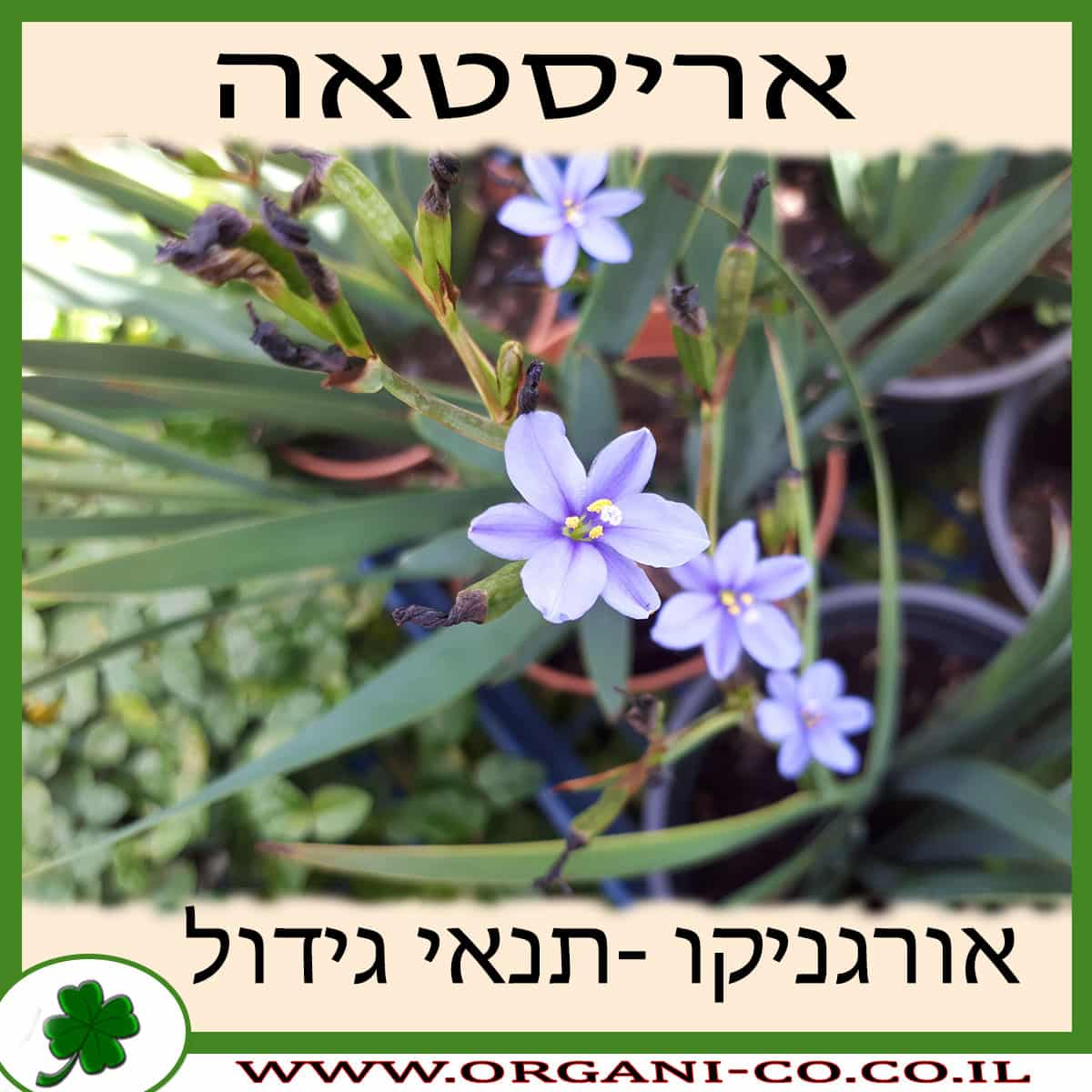 אריסטאה גידול צמח