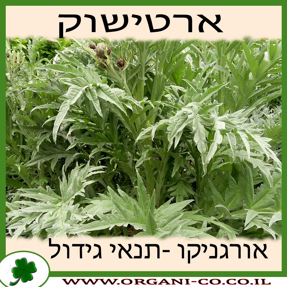 ארטישוק גידול צמח