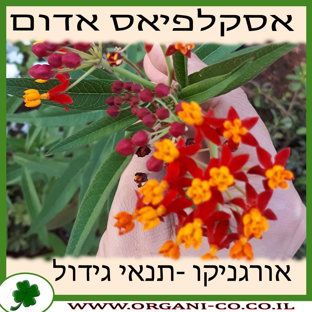 אסקלפיאס אדום גידול צמח