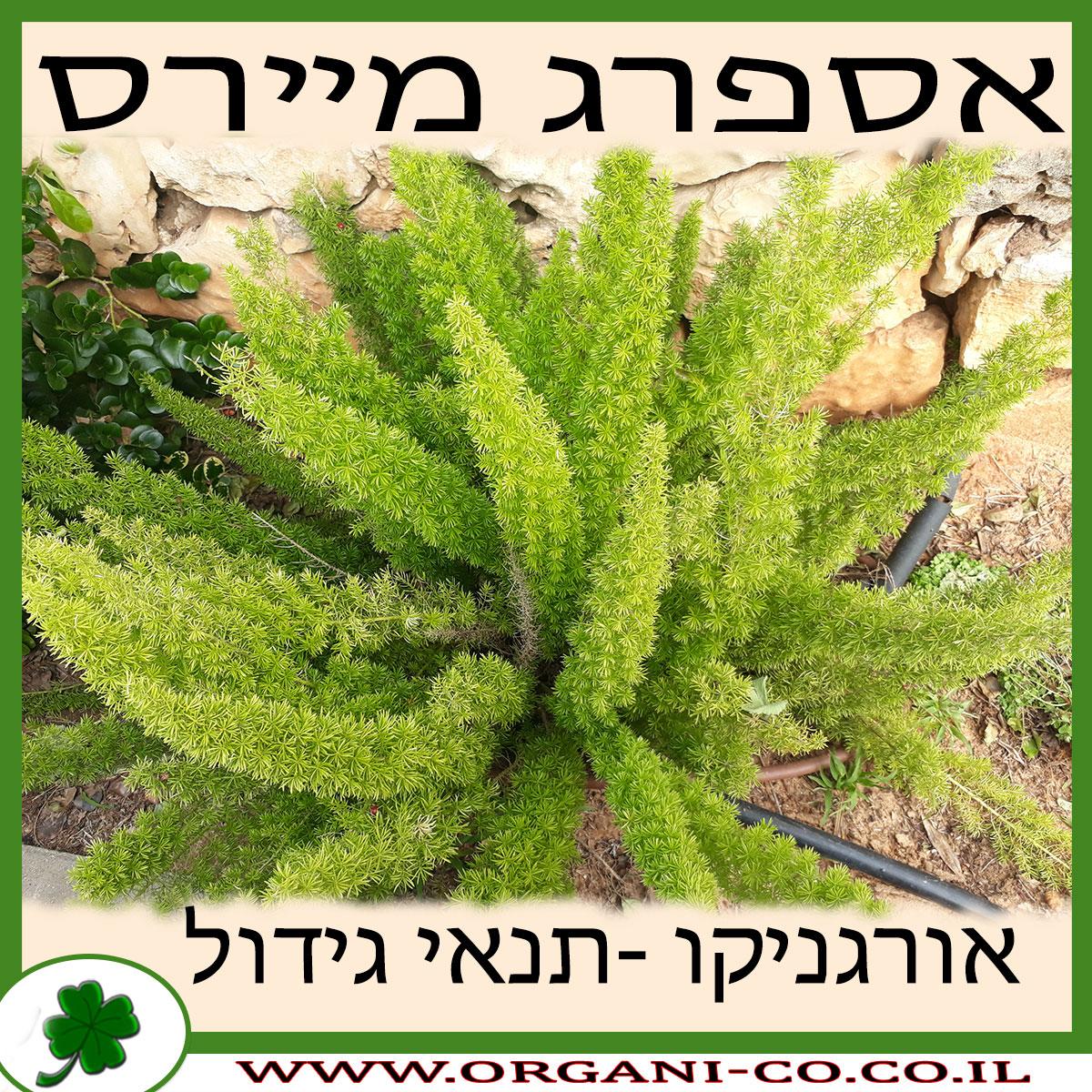 אספרג מיירס גידול צמח