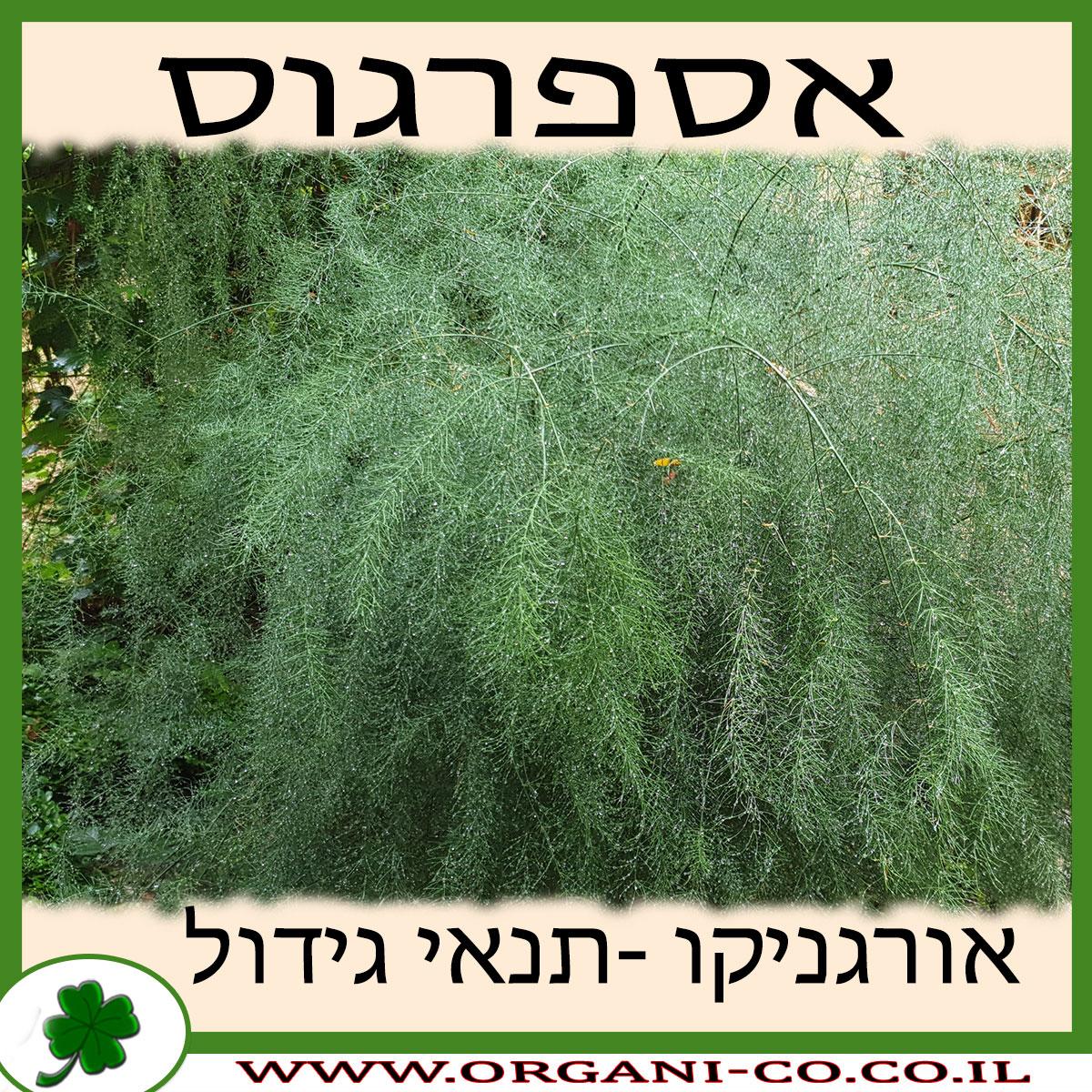 אספרגוס גידול צמח