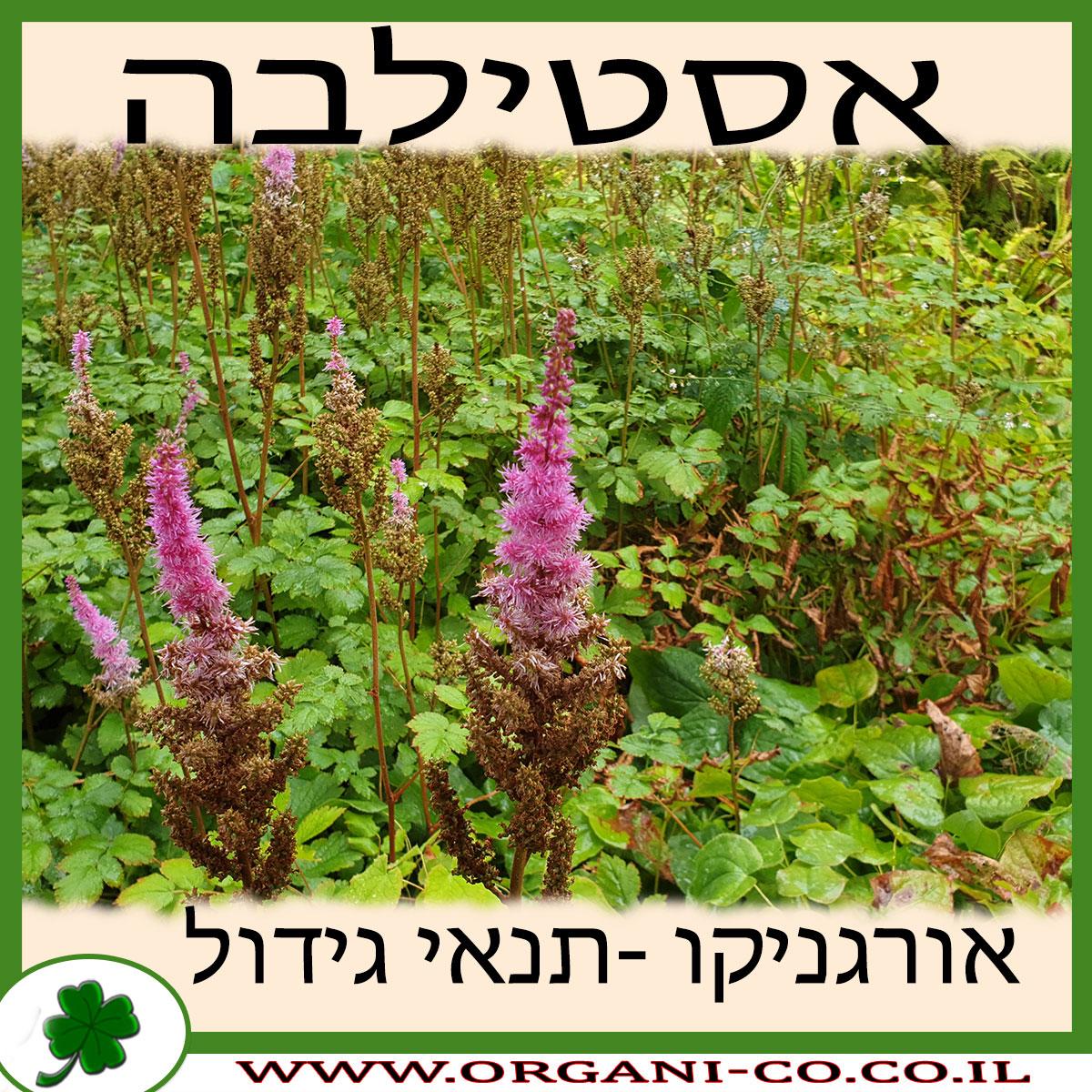 אסטילבה גידול צמח