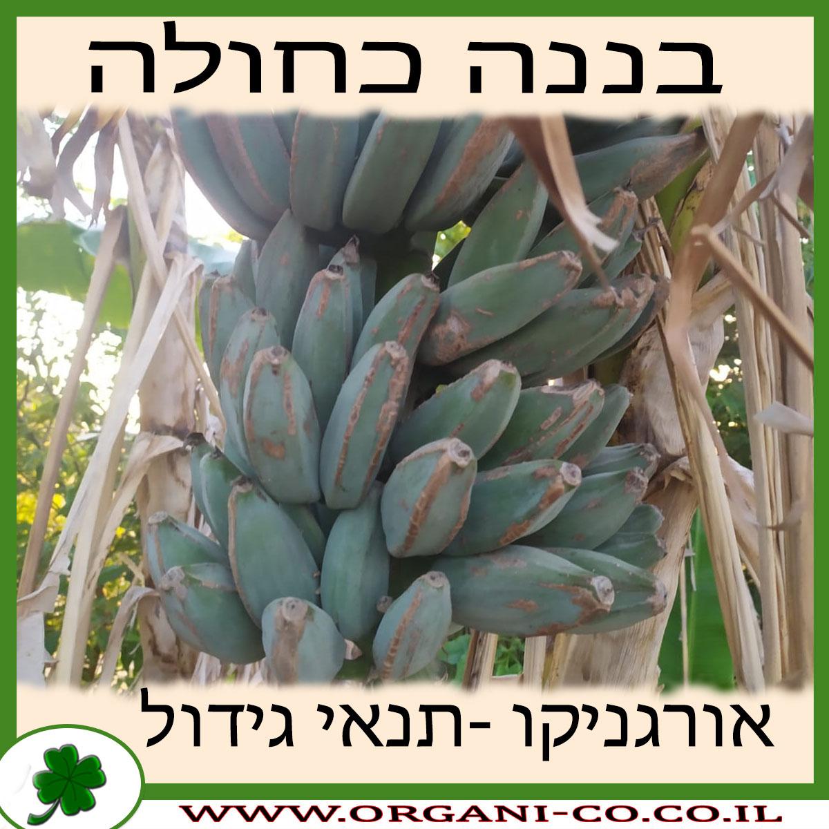 בננה כחולה גידול צמח