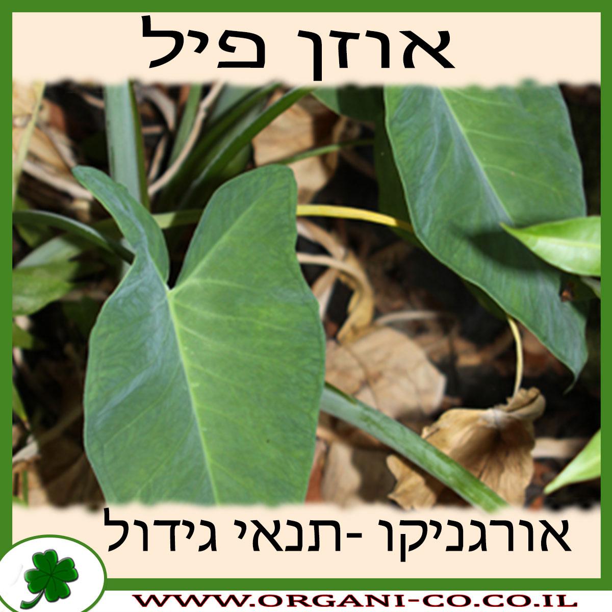 אוזן פיל גידול צמח