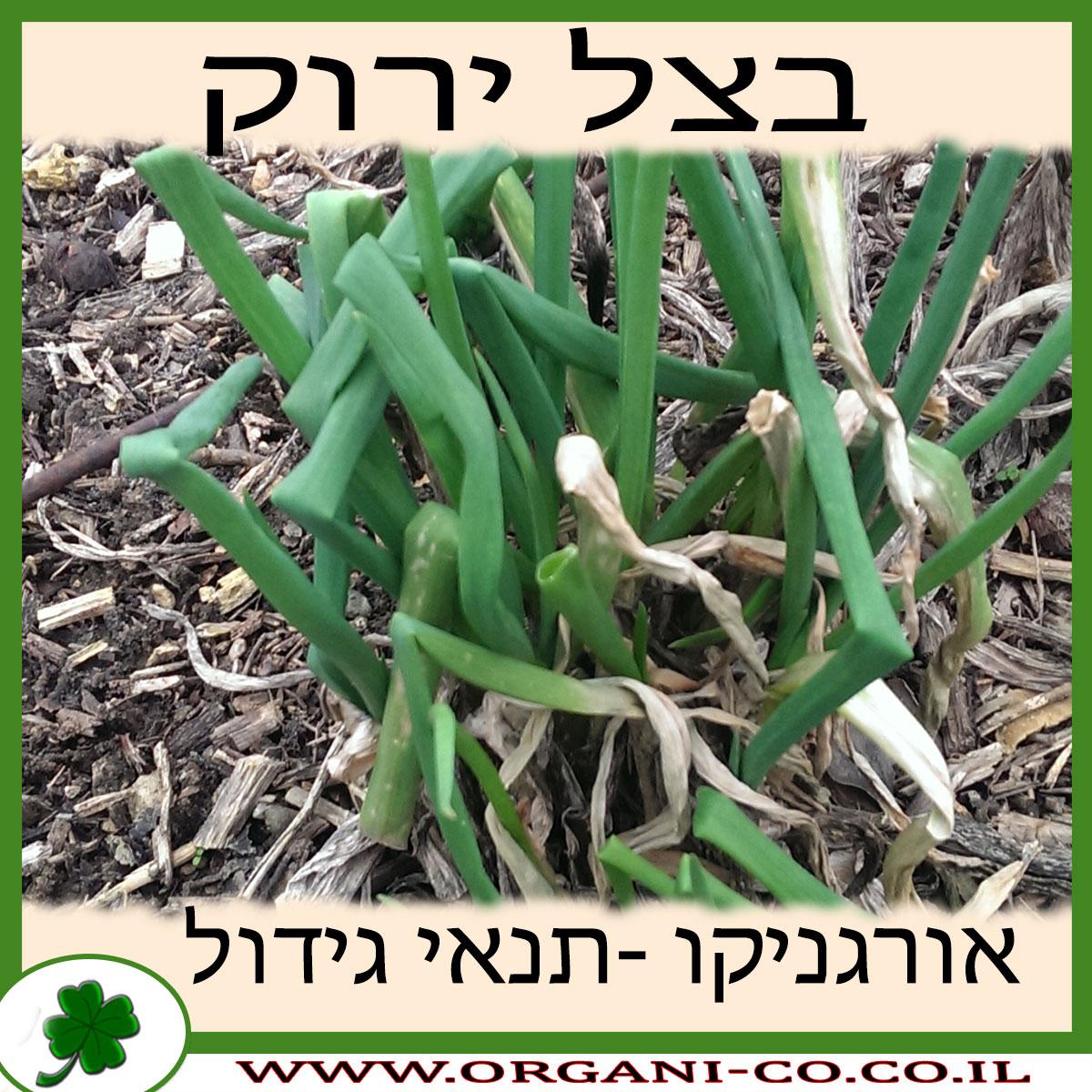 בצל ירוק גידול צמח