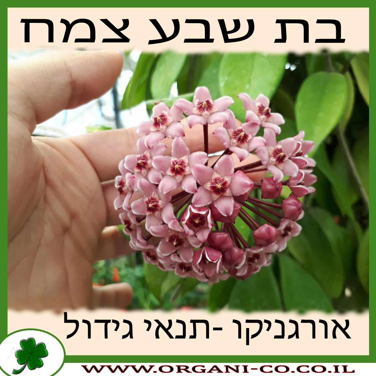 בת שבע צמח גידול צמח