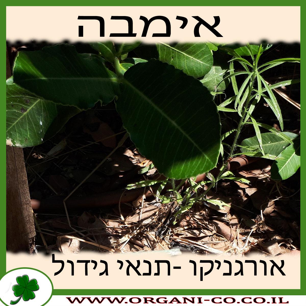 אימבה גידול צמח
