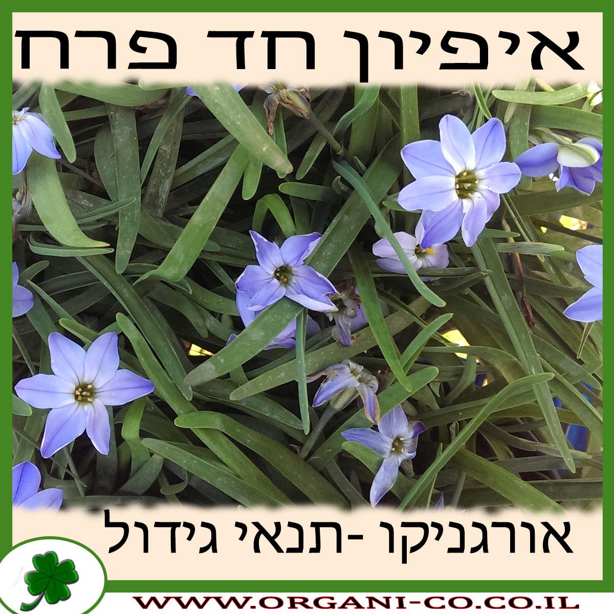 איפיון חד פרח גידול צמח