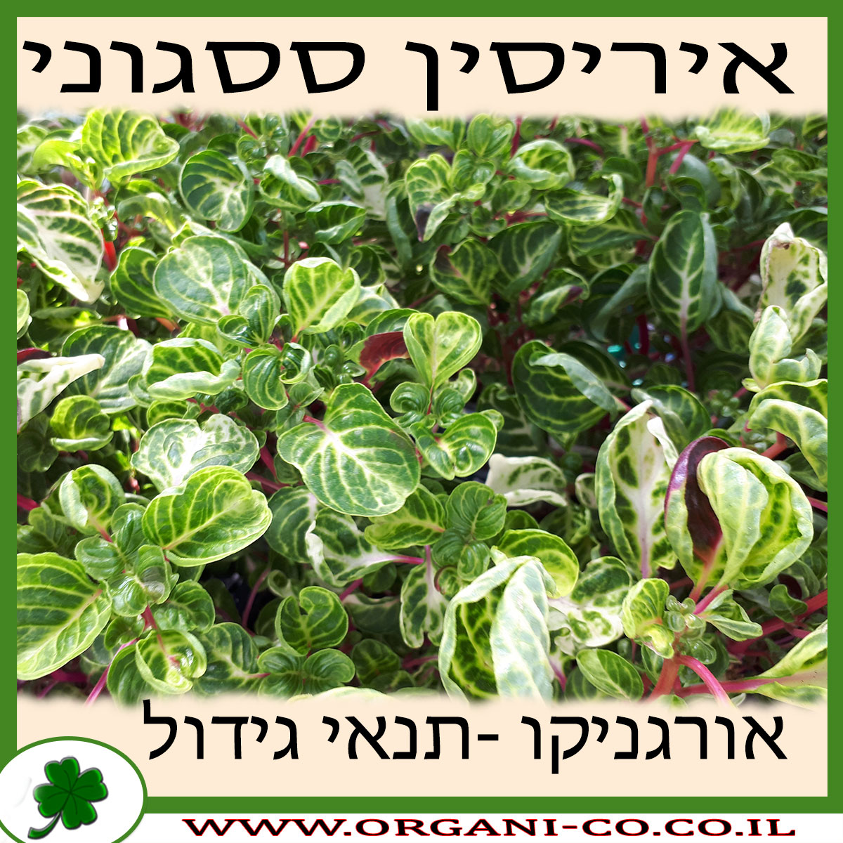 איריסין ססגוני גידול צמח