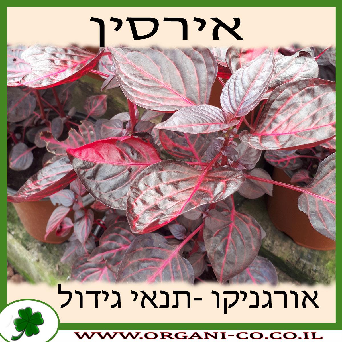 אירסין גידול צמח