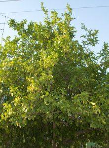 לימון עץ גידול צמח
