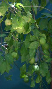לימון עץ