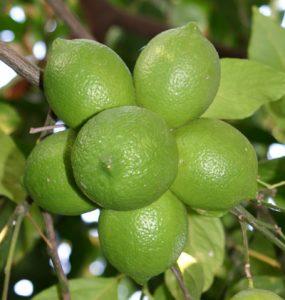 לימון עץ גידול